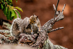Squirrel in the wilderness. In the north carolina mountains Royalty Free Stock Images