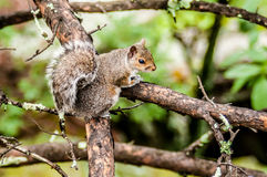 Squirrel in the wilderness Stock Image