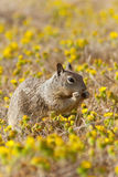 Squirrel and Wildflower Royalty Free Stock Photography