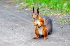 Squirrel wildlife rodent in the forest. Squirrel in the Park close, animal is a rodent, beautiful red squirrel royalty free stock photos