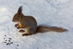 The squirrel in winter Royalty Free Stock Photos