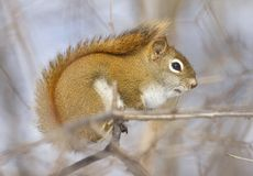 Squirrel during winter. Squirrel on a branch in nature Royalty Free Stock Photos