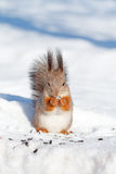 Squirrel in winter Royalty Free Stock Photography