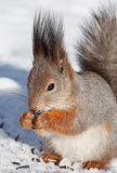 Squirrel in winter royalty free stock photos