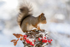 Squirrel winter berries Stock Images