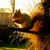 Squirrel in winter coat Royalty Free Stock Photos