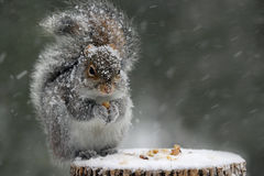 Squirrel in Winter. A cute eastern gray squirrel (Sciurus carolinensis) in a winter snowstorm sitting on a tree stump eating nuts Stock Photo