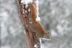 Squirrel on a Winter Day Royalty Free Stock Photos