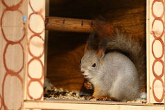 Squirrel in winter forest Royalty Free Stock Images
