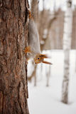 Squirrel in the winter forest Stock Photography