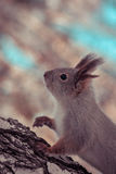 Squirrel in winter forest Stock Photos