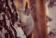 Squirrel in winter forest Stock Images