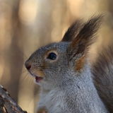 Squirrel in winter park, close-up Royalty Free Stock Photo