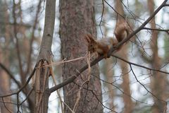 Squirrel in a winter park collects a heater for its nest Stock Photo
