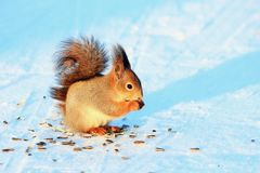 Squirrel in winter park eating sunflower seeds Royalty Free Stock Photo