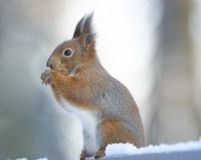 Squirrel. Royalty Free Stock Image