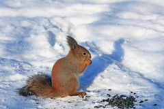 Squirrel in winter park eating sunflower seeds Royalty Free Stock Images