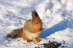 Squirrel in winter park on white snow. Eating sunflower seeds Stock Photos