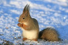 Squirrel in winter park on white snow. Eating sunflower seeds Royalty Free Stock Photos