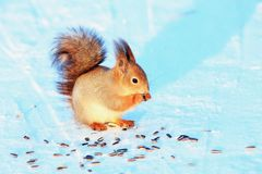 Squirrel in winter park on white snow. Eating sunflower seeds Stock Images
