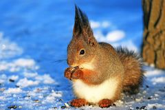 Squirrel in winter park on white snow. Eating sunflower seeds Royalty Free Stock Image