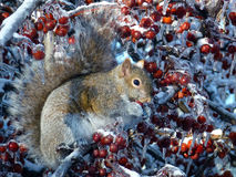Squirrel at Winter Royalty Free Stock Image