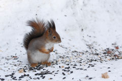 The squirrel. Royalty Free Stock Image