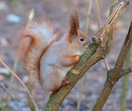 Squirrel in the winter sitting on tree branch. Squirrel in the winter forest sitting on tree branch Royalty Free Stock Photo