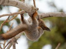 Squirrel climbs the tree upside down royalty free stock photo