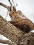 Squirrel in winter skin sits on a thick branch of a tree royalty free stock image