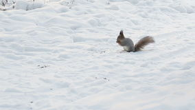 Squirrel in winter. The squirrel in the winter in the snow stock footage