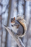 Squirrel in winter time. On a branch Stock Photos