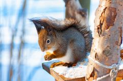 Squirrel in winter on a tree royalty free stock photo