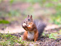 Squirrel With A Hazelnut Stock Photos