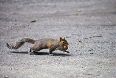 Squirrel With A Nut Stock Photo