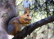 Free Squirrel With Nut Stock Photo - 13998050