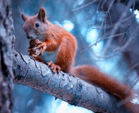Free Squirrel With Nut Royalty Free Stock Image - 25913796
