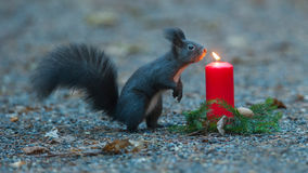 Squirrel is wondering about a candle. Stock Photo