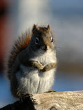 Squirrel on wood. Squirrel eating peanut on wood Royalty Free Stock Photos