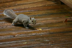 Squirrel hunting. Squirrel on wood deck is completely focused on its hunt Royalty Free Stock Photography