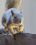 Squirrel On Wood Fence. Squirrel perched on a wood fence Royalty Free Stock Images