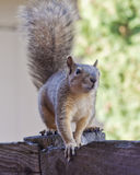 Squirrel On Wood Fence. Squirrel perched on a wood fence Royalty Free Stock Photos