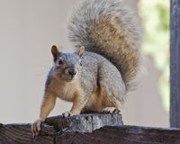 Squirrel On Wood Fence Stock Images