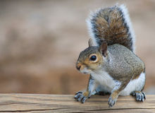 Squirrel on a wooden beam R Royalty Free Stock Photos