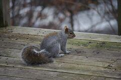 Squirrel on wooden deck Royalty Free Stock Photos
