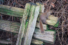 Squirrel the wooden fence hanger Stock Images
