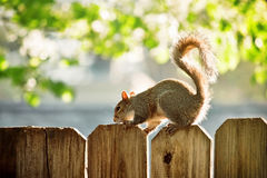 Squirrel on the wooden fence Royalty Free Stock Photo