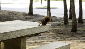Squirrel in the woods royalty free stock photography