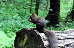 Squirrel in the woods royalty free stock image