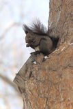 Squirrel. A  squirrel works at opening a nut while perched on a tree branch and surrounded by winter snow Stock Image